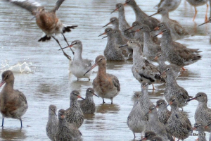 A Ruff stood alongside a Spotted Redshank surrounded by Common Redshanks & Black-tailed Godwits